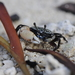 Mjöberg's Fiddler Crab - Photo (c) tengumaster89, all rights reserved
