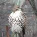 Eastern Red-tailed Hawk - Photo (c) Jonathan Layman, some rights reserved (CC BY)