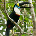 White-throated Toucan - Photo (c) Marc Faucher, all rights reserved
