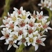 Fringe Stonecrop - Photo (c) Taryn James, all rights reserved
