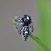 Phidippus putnami - Photo (c) Bill Keim, all rights reserved