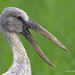 Storks - Photo (c) Amar-Singh HSS, all rights reserved