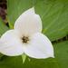 Trillium simile - Photo (c) David W. Boston, כל הזכויות שמורות