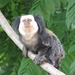 Geoffroy's Tufted-ear Marmoset - Photo (c) Luiz Souza, all rights reserved