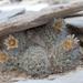Duncan's Foxtail Cactus - Photo (c) Juan Miguel Artigas Azas, all rights reserved