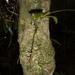 Microterangis hariotiana - Photo (c) majoet, todos los derechos reservados