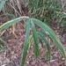 Arundinaria gigantea - Photo (c) Matt White, todos los derechos reservados