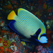 Angelfishes - Photo (c) richie rocket, some rights reserved (CC BY-ND)