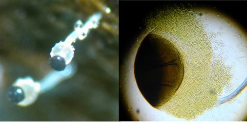 Mucoromycotina image