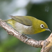 Warbling White-Eye - Photo (c) Mason Maron, all rights reserved