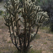 Silver Cholla - Photo (c) Eric Hunt, all rights reserved