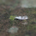 Elachista maculicerusella - Photo (c) Nigel Voaden, כל הזכויות שמורות