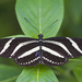 Heliconius charithonia - Photo (c) Diego Delso ,  זכויות יוצרים חלקיות (CC BY-SA)