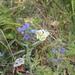 Blanquiverdosa Moteada - Photo (c) naturalist, todos los derechos reservados