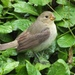 Dull-colored Grassquit - Photo (c) Candy McNamee, all rights reserved