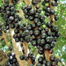 Jaboticaba Tree - Photo (c) Robin Booth, all rights reserved