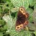 Metsänokiperhonen - Photo (c) adamik, kaikki oikeudet pidätetään