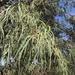 Eremophila longifolia - Photo (c) Christopher Orchard, kaikki oikeudet pidätetään