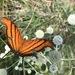 Marpesia petreus petreus - Photo (c) Maristela Zamoner, todos los derechos reservados