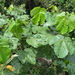 Macaranga gigantea - Photo (c) James Lucas, all rights reserved