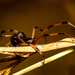 Brown Widow - Photo (c) Franklin Howley-Dumit Serulle, all rights reserved