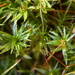 Atrichum angustatum - Photo (c) Devon Cummings, todos os direitos reservados