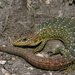 Glass and Alligator Lizards - Photo (c) Michael Price, some rights reserved (CC BY-NC-ND)