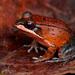 Leptodactylus rhodomystax - Photo (c) Matthieu Berroneau, כל הזכויות שמורות