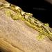 Thecadactylus solimoensis - Photo (c) Matthieu Berroneau, todos los derechos reservados