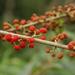 Debregeasia longifolia - Photo (c) Damon Tighe, todos los derechos reservados