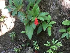 Kohleria spicata image