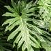Thaumatophyllum - Photo (c) Benjamin Jewiss, todos los derechos reservados