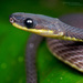 Ecuador Frog-eating Snake - Photo (c) Matthieu Berroneau, all rights reserved