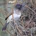 Pycnonotus barbatus schoanus - Photo (c) David Beadle, all rights reserved, uploaded by dbeadle