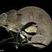 Furcifer oustaleti - Photo (c) louisedjasper, todos os direitos reservados