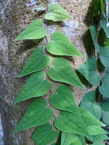 20 seeds Piper Marginatum-Marigold Pepper