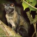 Common Palm Civets - Photo (c) Paolo Berrino, all rights reserved
