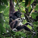 Lar Gibbon - Photo (c) Paolo Berrino, all rights reserved
