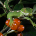 Aupori Green Gecko - Photo (c) Euan Brook, all rights reserved