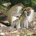 Chlorocebus aethiops - Photo (c) David Beadle, όλα τα δικαιώματα διατηρούνται, uploaded by dbeadle