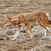 Ethiopian Wolf - Photo (c) David Beadle, all rights reserved, uploaded by dbeadle