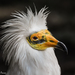 Egyptian Vulture - Photo (c) Ignacio Ferre Pérez, some rights reserved (CC BY-NC-ND)