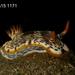 Chromodoris quagga - Photo (c) Dave and Janet Morgan, all rights reserved