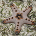 Chocolate Chip Sea Star - Photo (c) tengumaster89, all rights reserved