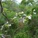 Argyreia breviscapa - Photo (c) Moss Natthaphong, todos los derechos reservados