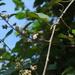Argyreia osyrensis - Photo (c) Moss Natthaphong, kaikki oikeudet pidätetään