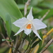 Nigro-hirsute Dendrobiums - Photo (c) Moss Natthaphong, all rights reserved