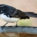 Willie Wagtail - Photo (c) Condell, all rights reserved