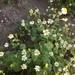 Amauria brandegeana - Photo (c) california_naturalist, כל הזכויות שמורות