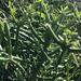 Árbol de Goma - Photo (c) Tim, todos los derechos reservados